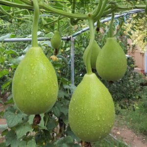 farm fresh bottle gourd